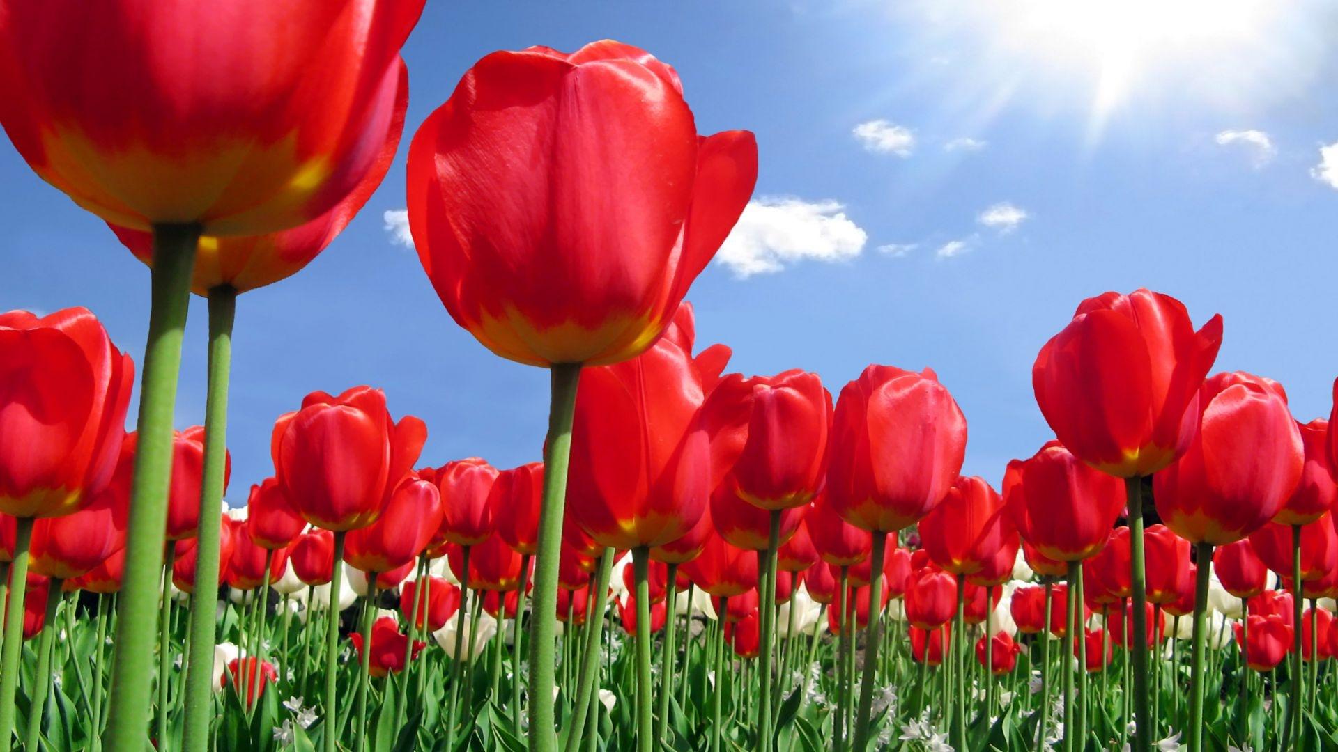 Tulipani Cornaredo Milano