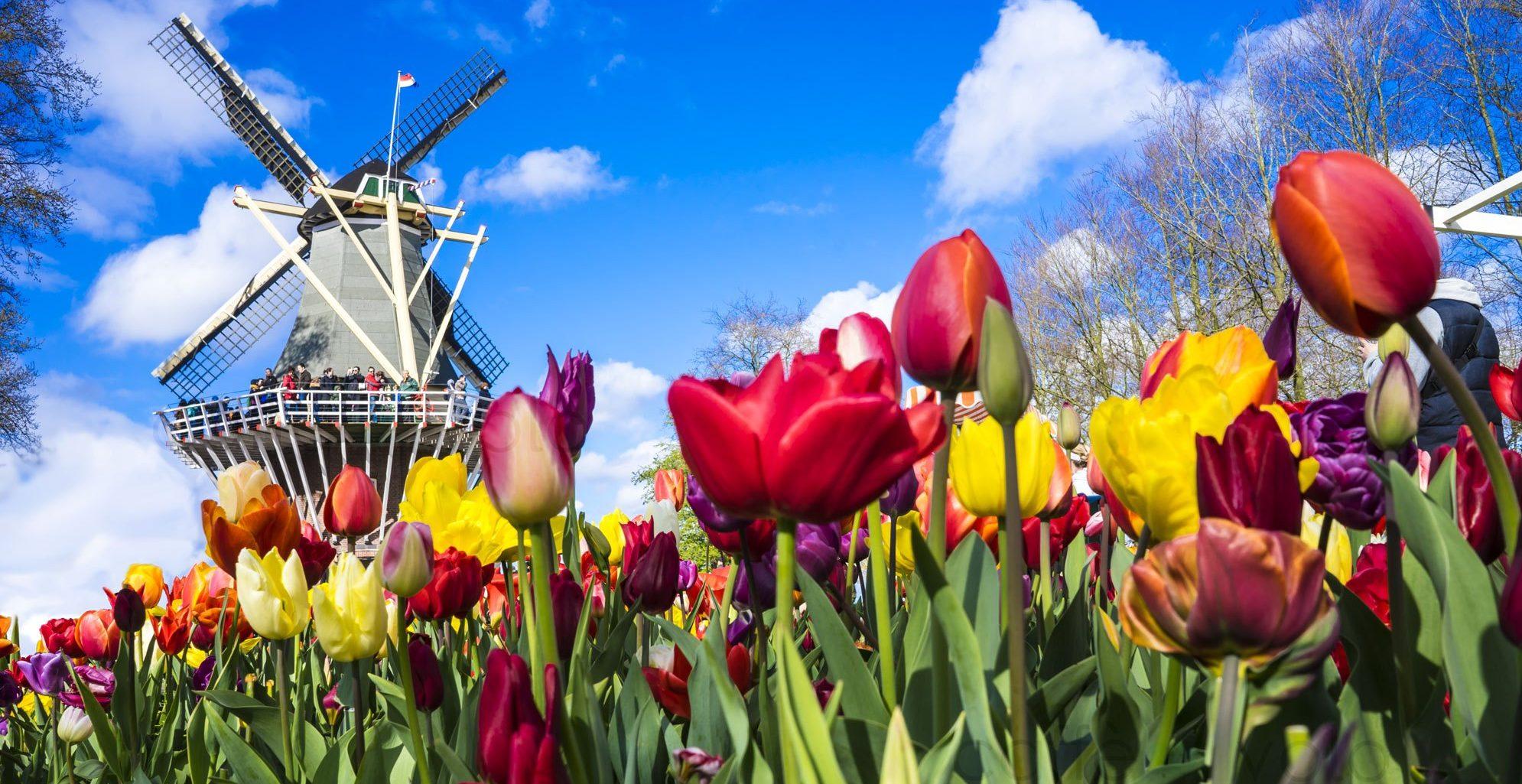 Tulipani Milano due grandi campi in arrivo