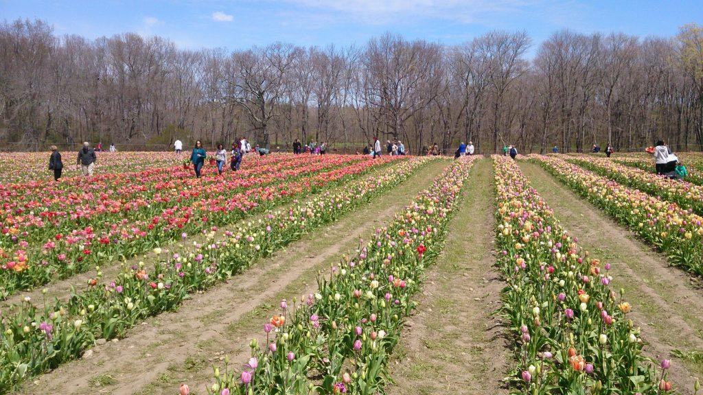 cornaredo campo tulipani youparti