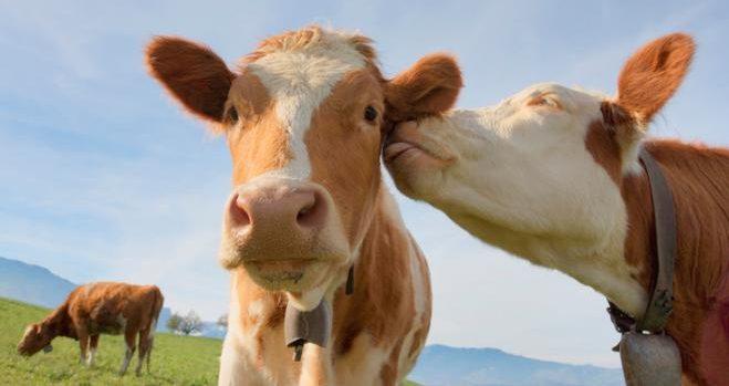 Boom di richieste per «Adotta una mucca» YOUparti