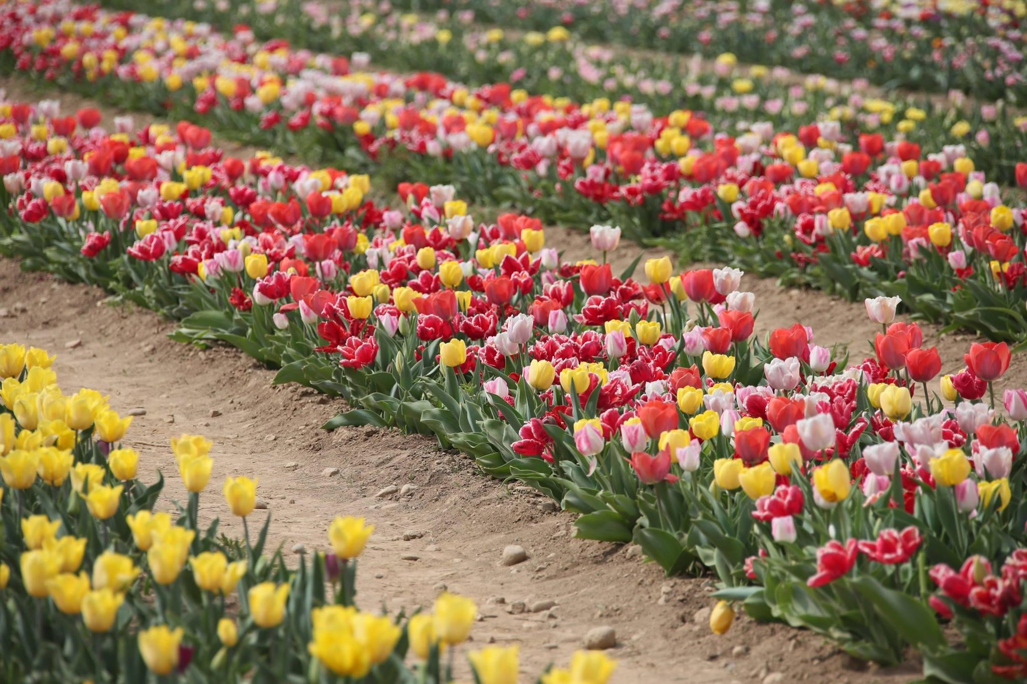 """Riapre ufficialmente """"la piccola Olanda"""", il campo di Tulipani YOUparti"""